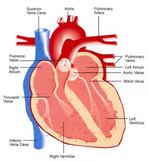 Pulmonary artery - Federation Space - Official Wiki